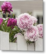 Peonies On A Picket Metal Print