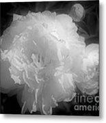 Peony Flower Phases Black And White Contrast Metal Print