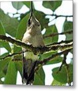 Perched Hummingbird Metal Print