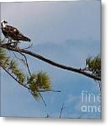 Perched Osprey Metal Print