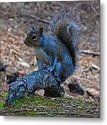 Perching Squirrel Metal Print