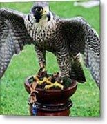 Peregrine Falcon # 1 Metal Print