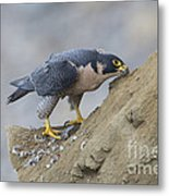 Peregrine Cleaning Beak Metal Print