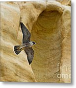 Peregrine Falcon Flying By Cliff Metal Print