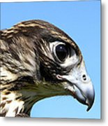 Peregrine Falcon Tashunka Metal Print