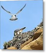 Peregrine Falcons - 2 Metal Print