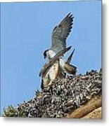 Peregrine Falcons - 5 Metal Print