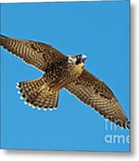 Peregrine Young Screaming For Food Metal Print