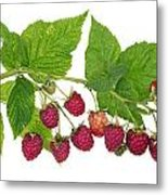 Perfect Isolated Raspberry Metal Print