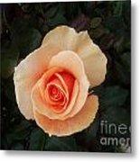 Perfect Peach Rose Metal Print