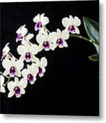 Perfect Phalaenopsis Orchid Metal Print