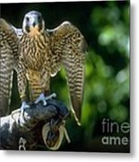 Perigrine Falcon Metal Print