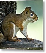Perky Squirrel Metal Print