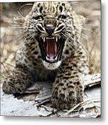 Persian Leopard Cub Snarling Metal Print