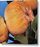 Persimmons Close Up Metal Print