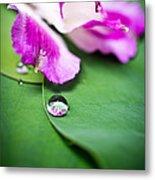 Peruvian Lily Raindrop Metal Print