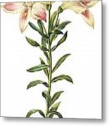 Peruvian Lily Metal Print