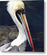 Peruvian Pelican Portrait Metal Print