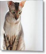 Peterbald Sphynx Cat Metal Print