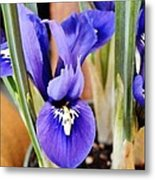 Petite Dutch Irises Metal Print