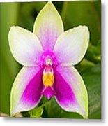 Phalaenopsis Bellina Metal Print