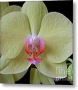 Phalaenopsis Fuller's Sunset Orchid No 2 Metal Print