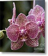 Phalaenopsis Helen Alice Mary 2346 Metal Print