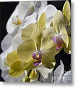 Phalaenopsis Orchids 2777 Metal Print
