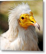 Pharaoh Chicken. Egyptian Vulture Metal Print