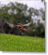 Pheasant Take Off Metal Print