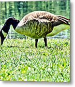 Philly Goose In The Grass Metal Print