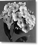 Phlox Blossoms Metal Print