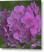 Phlox Nicky Metal Print
