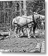 Photograph Of Horses Pulling Logs In Maine Forest Metal Print