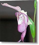 Phragmipedium - Phrag Frank Smith Orchid Metal Print