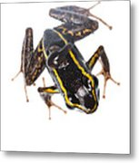 Phyllobates Lugubris With A Tadpole Metal Print by JP Lawrence