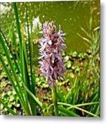 Pickerel Weed Plant Metal Print