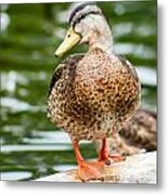 Picture Perfect - Mallard Duck Metal Print