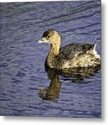 Pied-billed Grebe Metal Print