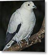 Pied Imperial Pigeon Metal Print