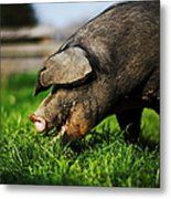 Pig Eating Metal Print