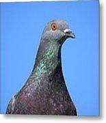 Pigeon Metal Print