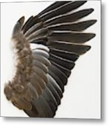 Pigeon Wing Showing Overlapping Feathers Metal Print