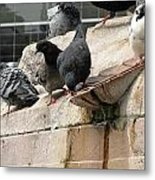 Pigeons Metal Print