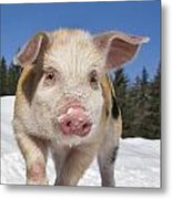 Piglet Walking In The Snow Metal Print