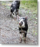 Piglets On The Loose Metal Print