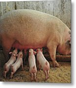 Momma Pig And Piglets Metal Print by Terry DeLuco