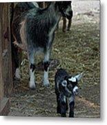 Pigmy Goats Metal Print