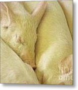 Pigs Sleeping Metal Print