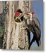 Pileated Woodpecker And Chick Metal Print